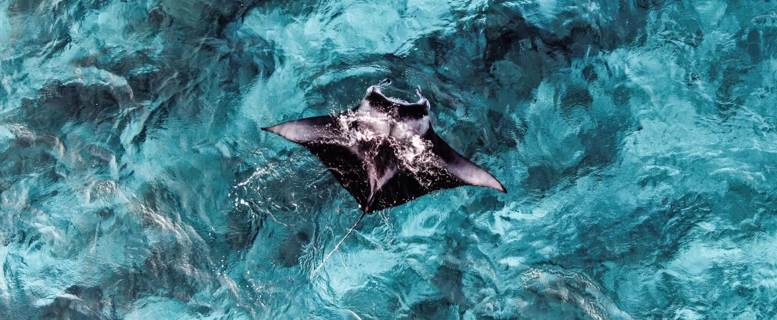 Stingray swimming aerial shot