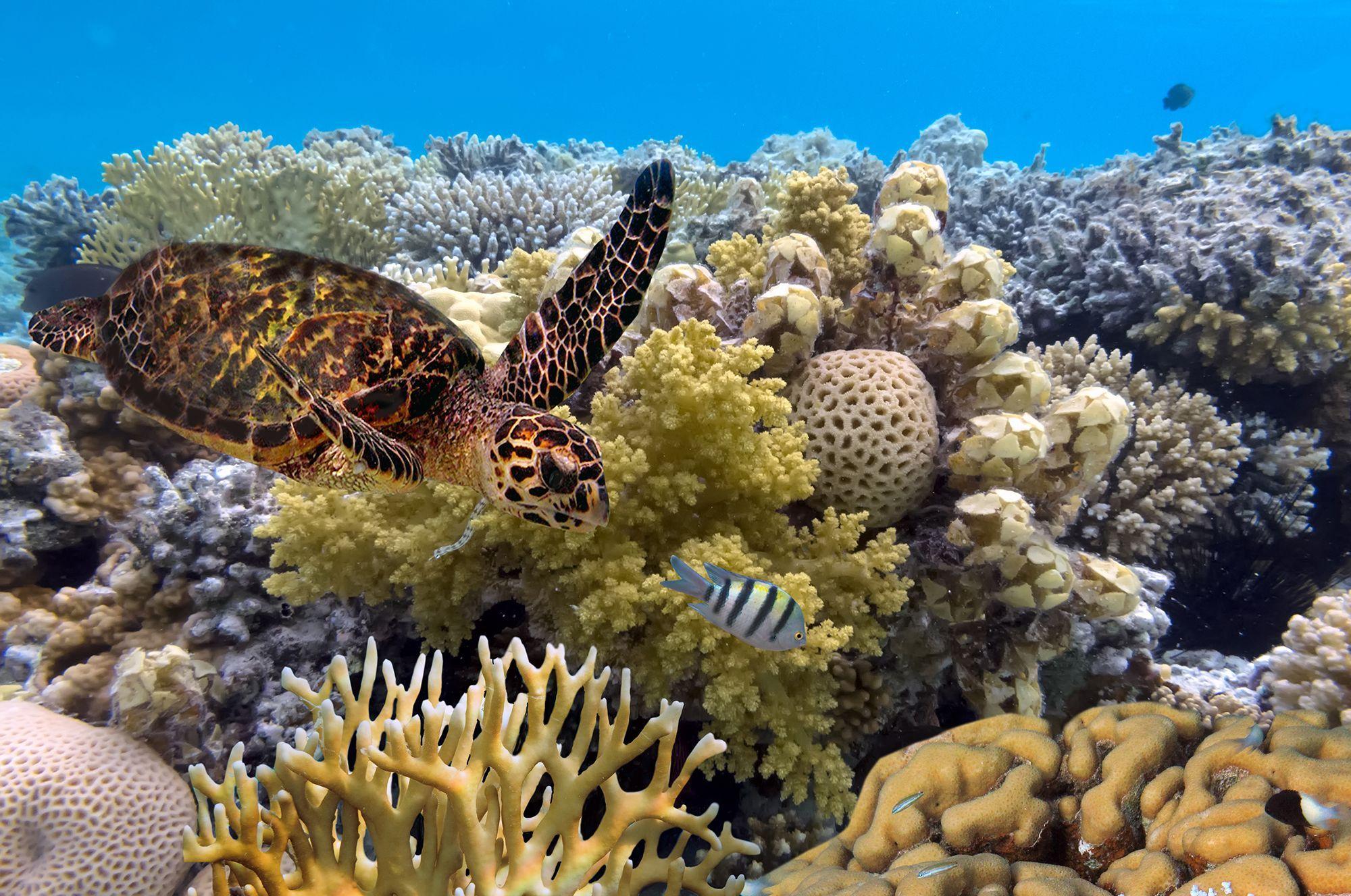 Great Barrier Reef underwater shot with turtle