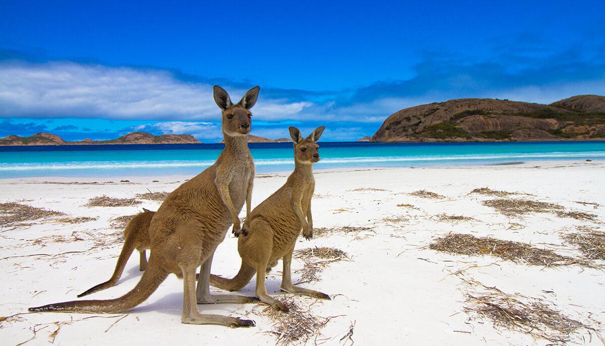 Kangaroos on Kangaroo Island SA